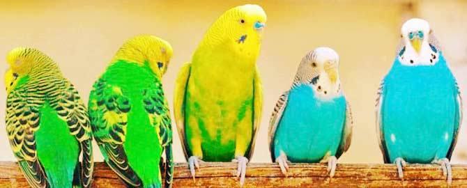 Понос у попугая - причины и что делать?