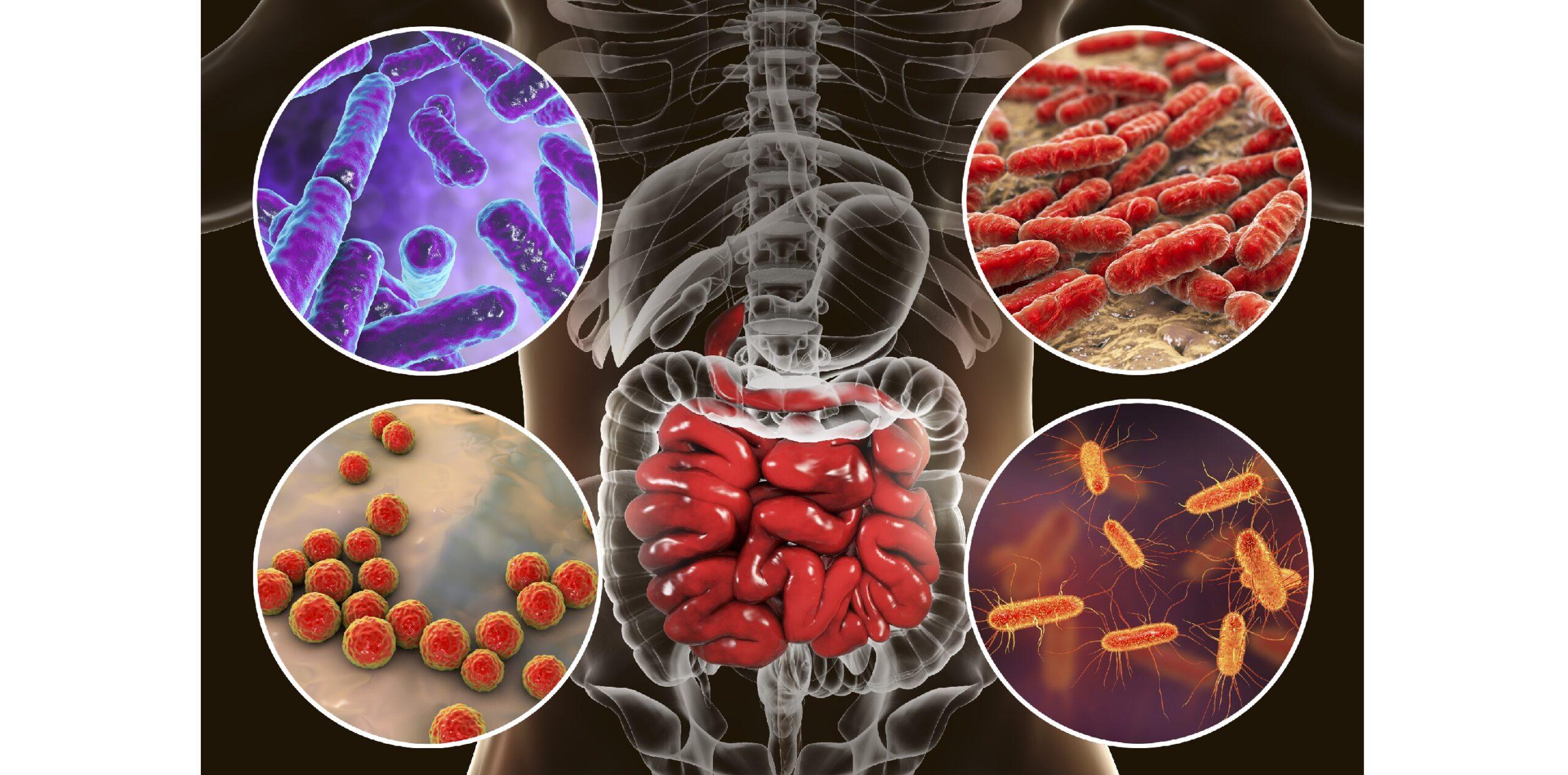 Кишечные бактерии могут помочь восстановить иммунную систему